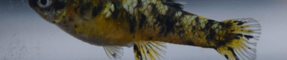 Phalloceros caudomaculatus reticulatus auratus 'REAL'