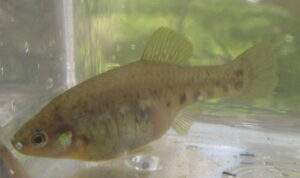 Zoogoneticus purhepechus