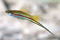 Xiphophorus hellerii, Green swordtail : aquarium
